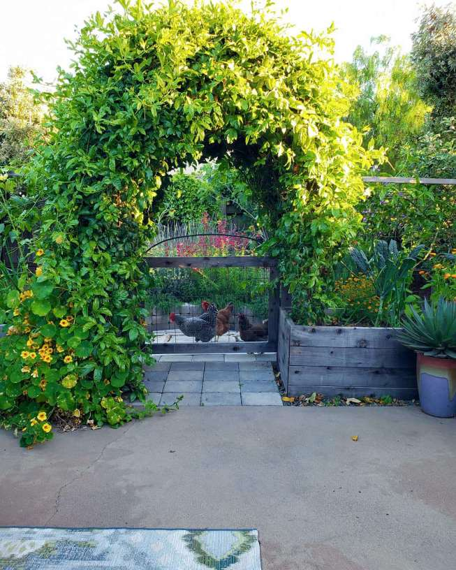 The back patio garden is shown with the green and lush passion vine archway in full glory. The surrounding area is very green as well with kale, agave, salvia, marigolds, nasturtium, lavender, and various trees throughout. There are also three chickens standing just outside the archway gate looking in.