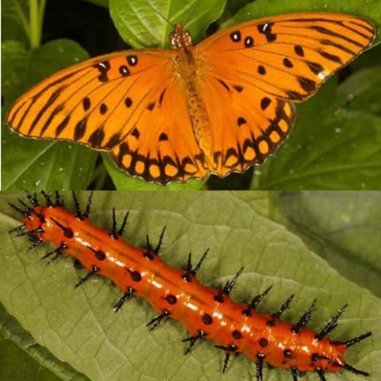 A two part image of a Gulf Fritillary butterfly and the second image is it as a caterpillar. The butterfly is bright orange with various black marking along its wings while the caterpillar is orange with many black spike protruding from the body. This insect uses the passion fruit vines as a host plant, the caterpillar uses it as its main source of food and can munch holes in the plant material.