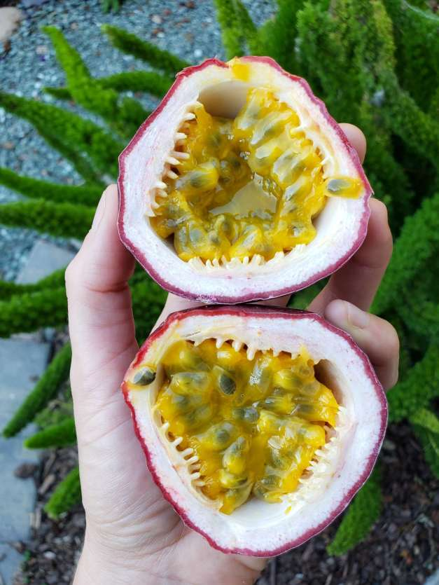 A hand is holding a passion fruit that has been cut in half along its equator. The outer edge is purple from the skin of the passion fruit, the inner part of the shell is whitish pink, and the inner fruit portion is a golden tropical pulp that is extremely fragrant and delicious. The center is made up of many seeds that are each surrounded by the golden pulp which can be strained and separated into its own juice, or it can be eaten with the seeds. The background is a foxtail fern with many arms extending out and in many directions, with green gravel walkway below that.