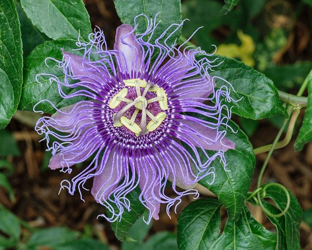 An image of a Maypop flower, it looks very similar to a passion fruit flower, however, it is mostly a dark lavender color. It is extremely beautiful, just slightly less variation in colors.