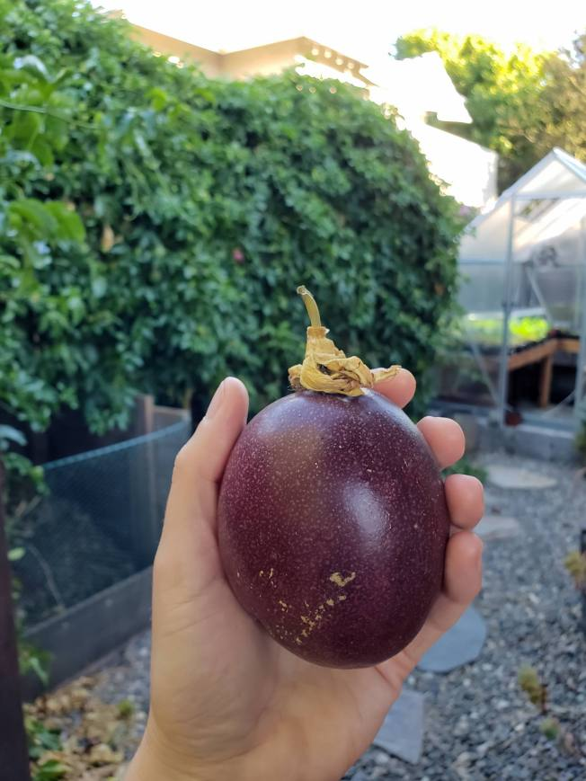A hand is holding a Fredrick passion fruit, it is large, just bigger than a baseball and it is a beautiful purple color. The background shows the passion vine from which it came from and it is big, lush, and green. You can see a ripening passion fruit on the vine, adorning the plant like an ornament. Next to the vine there is a green house with some young seedlings growing on one of the potting benches inside.