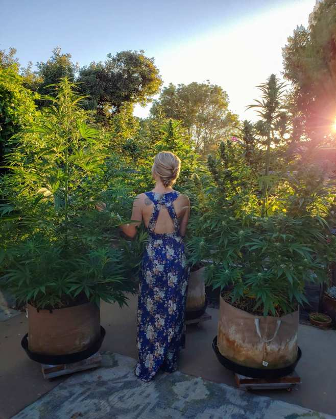 A woman in a blue dress with floral print stands amongst three cannabis plants on a back patio. Her back is facing the camera and she is looking upwards towards her left at one of the pants. The plants are flowering and they are all a few feet taller than the woman. Each plant is in a 25 gallon fabric grow bag and they are sitting on homemade plant dollies. The sun is shining in from the background, casting a warm and golden glow amongst the plants and trees in the background.