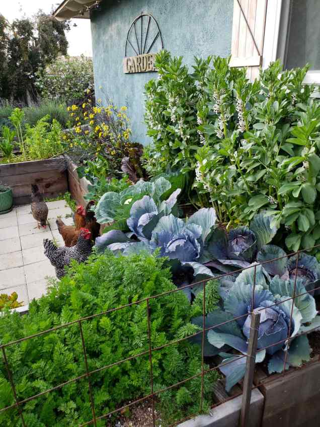 """A u-shaped garden bed next to the side of a house is lush with growing greens, brassicas, and legumes. There are mature red cabbage heads, carrot greens, mustard greens, and asian greens. Behind the red cabbage there are many flowering fava bean plants shooting upwards towards the sky. They come up to the bottom of a window in the image. There are four curious chickens at the foot of the beds, looking upwards at the vegetables that they may be able to consume. There is a sign of the house that says """"garden"""" and there are various trees and pollinator perennials beyond the edge of the house."""