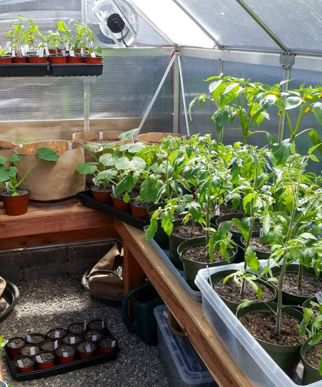The inside of Homestead and Chills hobby greenhouse. Seedlings of many summer varieties of vegetables are shown, ranging from squash to tomatoes to tomatillos. Most of the small pots that contain seedlings are sitting in trays. There is a shelving unit attached to a part of the wall that has many more seedlings on it as well, making use of the limited space. An exhaust fan is also busy at work, helping circulate the air. Along the backside of one of the slotted wooden potting benches are smaller fabric grow bags, inside each one are turmeric rhizomes waiting to sprout.