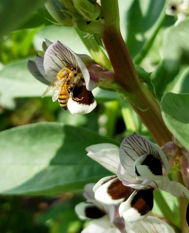 A close up of a stalk of a fava plant. It has multiple clusters of flowers along its stalk and a bee is inside one of the flowers, enjoying the pollen that it provides. The fava flowers are white with a brown splotch or two on its lower petals, the top petals have brown veins that stand out against the soft white flower.