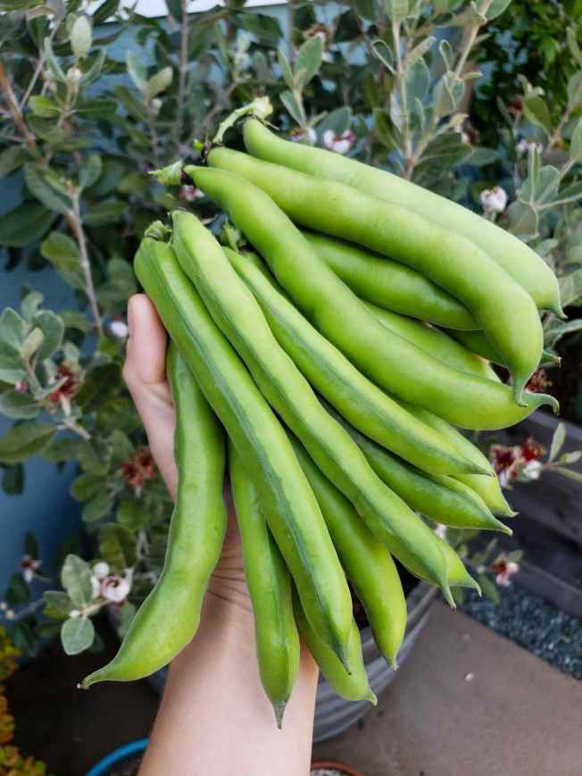 A close up image of a hand holding a large amount of plump fava bean pods. They look to be about six inches long and are fairly thick, indicating that the beans within should be of good size. The pods are light green in color and it is set agains a backdrop of a flowering guava plant which has green leaves and the flowers are lightish pink to dark red.