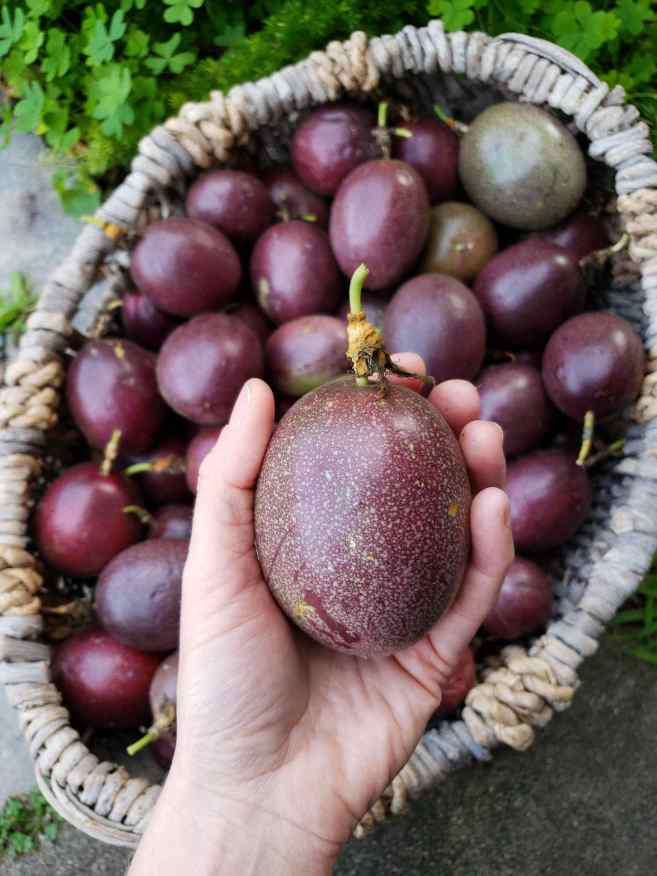 A hand is holding a purple passion fruit that is the size of a baseball. Underneath the fruit lies a wicker basket that is full of many more purple fruit that vary in size from medium to large.