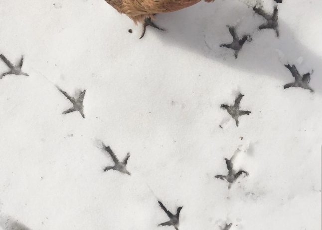 A close up of the ground with a shallow layer of snow, maybe an inch or so deep, and chicken feet imprints in the snow. They have three long pointer toes in front and one shorter one off back side of the footprint.