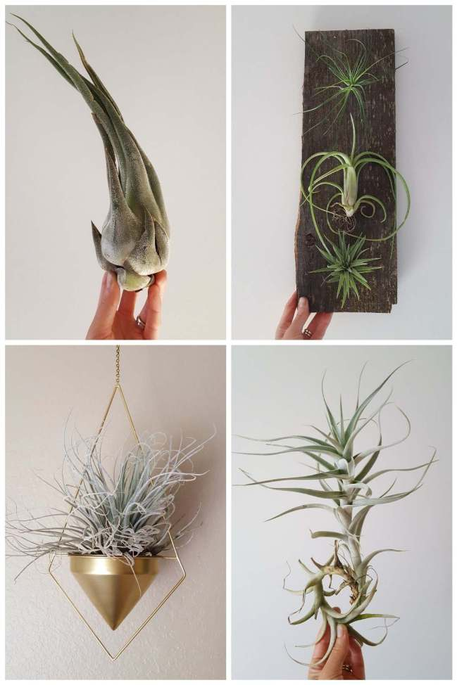 A four way image collage, each image containing a different air plant against a white background. The first image shows a hand holding a fatter bodied air plant that is lighter grey green and seems to be slightly fuzzy. The second image shows three different air plants of varying shaped and structure, some are more compact and tight while others have longer and more frilly leaves extending from their center body. They are all attached to a darker piece of barn wood. The third image shows an air plant being displayed in a hanging golden bowl whose bottom is tear dropped shaped. The plant is very grey white in color and has many frilly leaves protruding out from the center body. The fourth image shows a hand holding an air plant that is long and slender, it is light grey green in color and the bottom of the plant is curled into itself, making it perfect place to hang from.