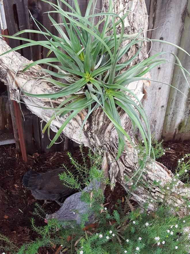 Three or four larger tillandsias plants emanating from the same center have been tied to the crook of a tree by some loose fitting plant wire. They are kept shaded by the understory of the tree.