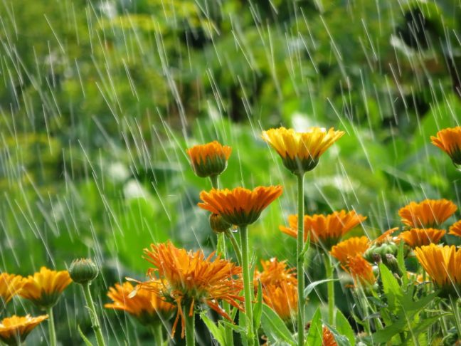 An image of daisies popping up out of the ground, some blooms are all the way open and some are still a tight ball. The surrounding area is very lush and there are rain drops falling from the sky. A good rainwater collection system will help capture some of those rain drops to utilize at another time.
