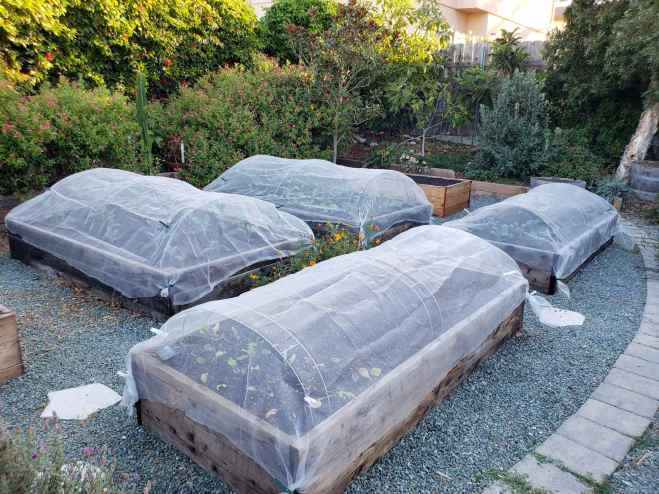 Four raised garden beds are shown with freshly planted out seedlings. The beds also contain floating row covers which are achieved by using hoops for the bed with insect netting attached over the top. If you want to grow zucchini, protecting them from the top may be necessary for some pests. In the background perimeter of the garden there are various shrubs, trees, and flowering perennial plants.