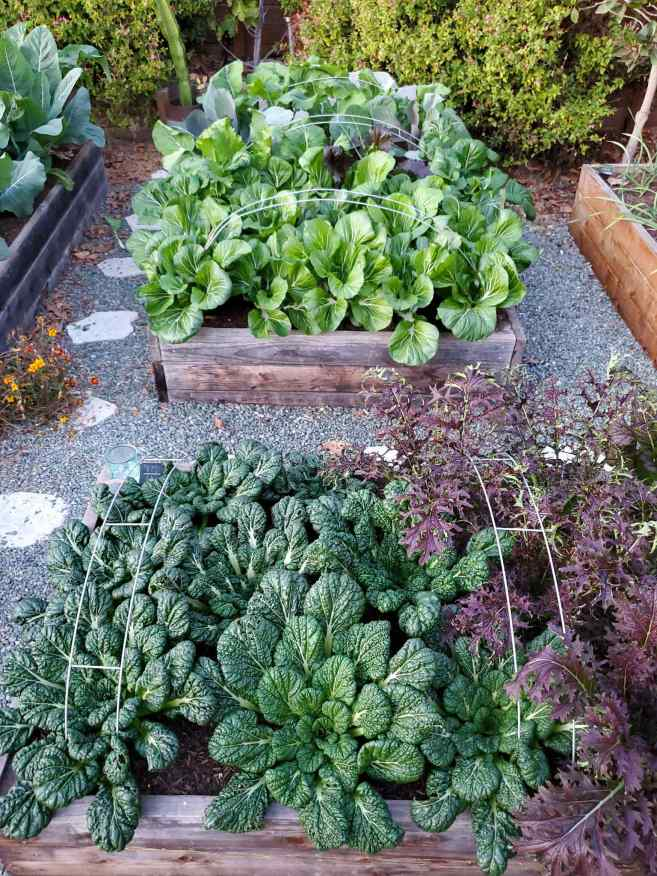 A raised garden bed full of tatsoi, Yukina savoy, and red mustard greens, growing upwards amongst metal hoops that are arched over the raised bed. A raised garden bed sits beyond it with similar hoops arched over the bed. Bok choy, asian greens, cabbage, and kale are billowing out of the raised bed.