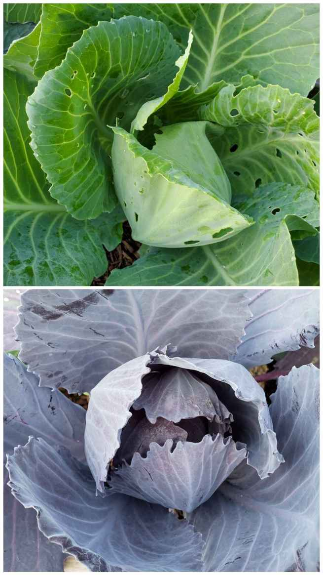 A two way image collage, the first image shows a close up of a green cabbage head. There are many holes throughout the various leaves on the plant due to cabbage white caterpillars. The second image shows a close up of a red cabbage head and it does not have any holes in it from cabbage white caterpillars even though it is planted right next to the green. Cabbage white butterflies lay almost exclusively on the green cabbage because they are drawn to the green color as opposed to the purple or red.