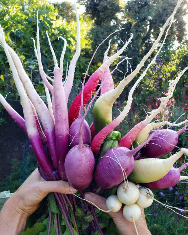 Two hands are holding a large bunch of assorted turnips and radishes. Their roots are pointing towards the sky The radish and turnips range in color from purple, to red, to white, to green as well as a combination of them all.