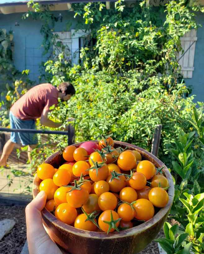 A hand is holding out a wood bowl full of Sungold tomatoes. In the background shows the plant itself which has grown to the roof of the blue green house it is planted next to. A man is seen next to the plant looking closely for more tomatoes.