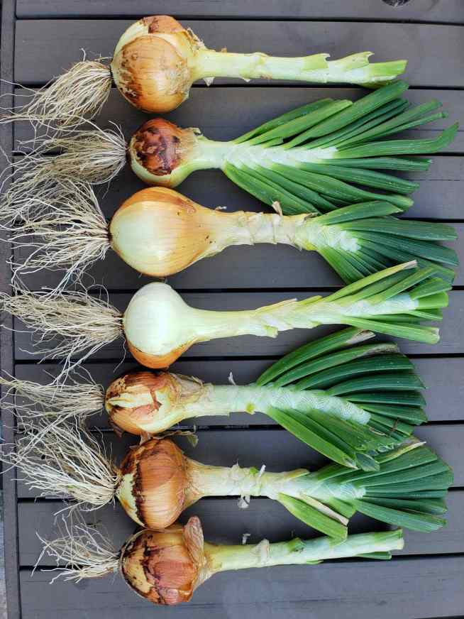 Six large Walla Walla onions are laid out on a patio table in a single file line. All of the roots and bottom portion of the onion are facing towards the left while the green and luscious tops are pointing towards the right.