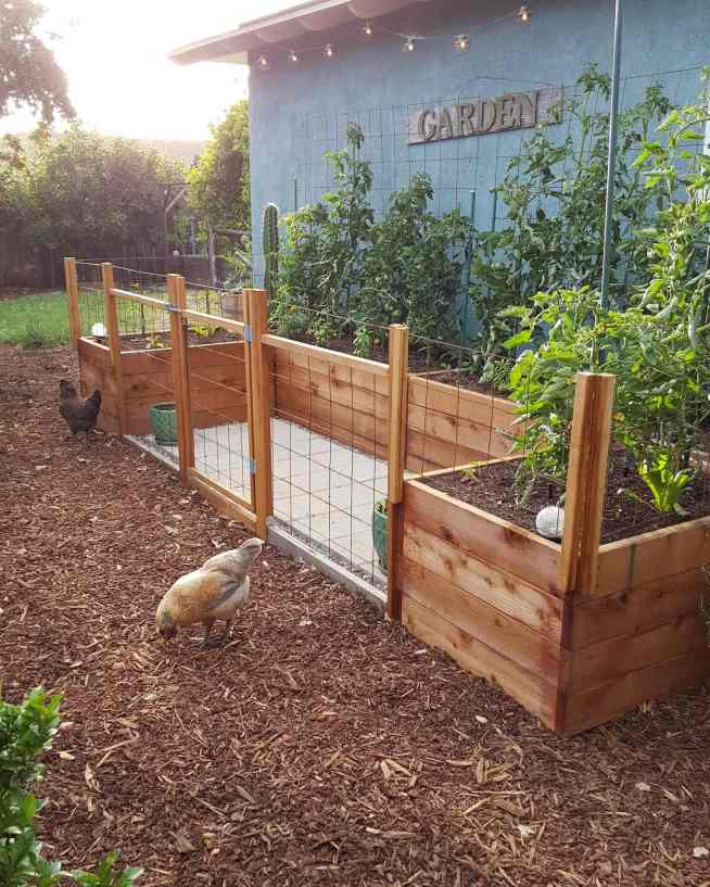 Raised wooden garden beds are set next to a house with blue/green walls. It has trellises lined along the backside of the garden beds and there are tomato plants climbing up. There are chickens picking around on the ground outside of the garden area which is fenced off from them.