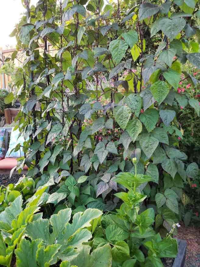Concrete remesh used as a structure for climbing plants to grow on. It is attached to the backside of a garden bed and has climbing purple beans growing up it.