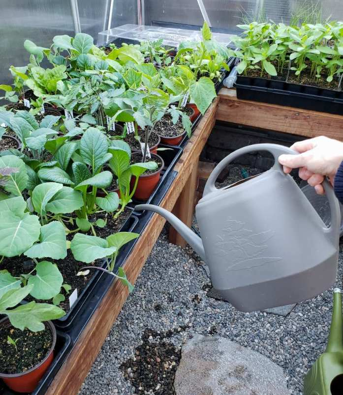 DeannaCat holding a one gallon watering can, pouring water from the spout into the bottom of black trays full of seedling containers. The setting is in a greenhouse with pea gravel floor, and dozens of small green plants are growing in the small pots within the seedling trays.