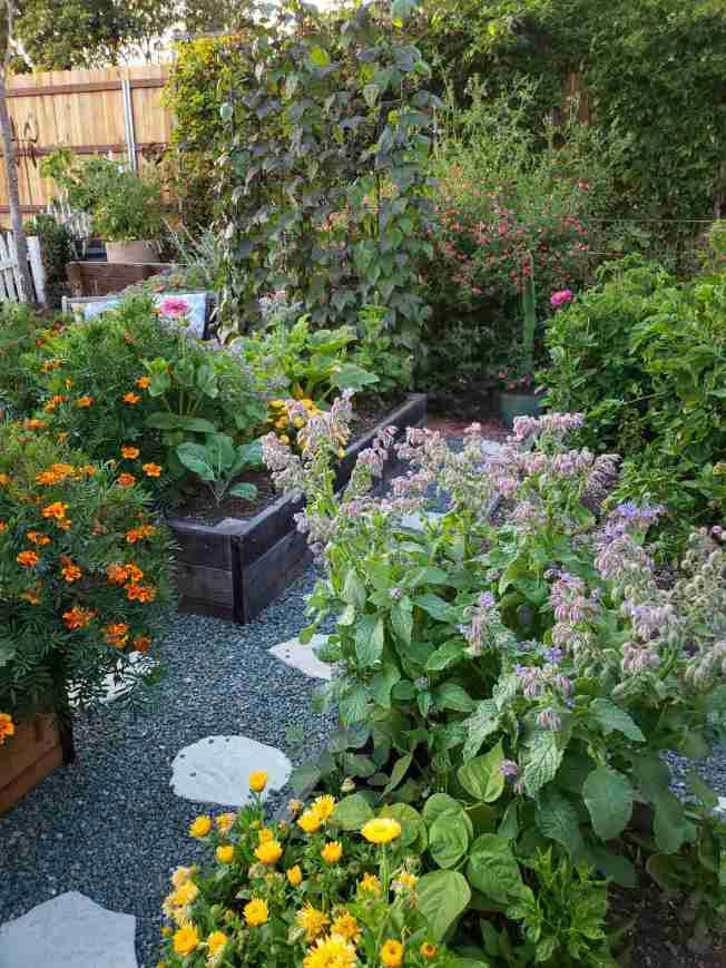 A large borage plant is shown taking up the corner of a raised garden bed. There are a lot of leaves which make up a lot of plant material with most of the flowers sitting atop the plant. The scene shows many other flowering annuals around the area as well such as marigold, zinnia, and calendula. There are also tomatoes, green beans, and squash as well as many other perennial plants, shrubs, and trees.