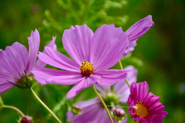 A close up image of a lavender purple cosmos flower. The petals are delicate while the inside of the flower looks to be covered in pollen.