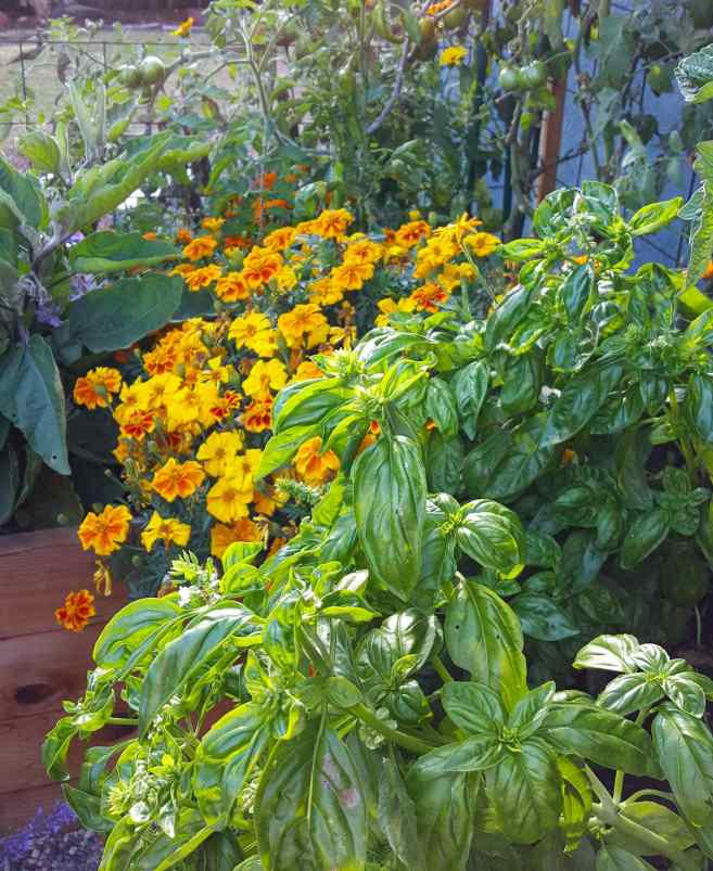 A close up image of basil planted in a raised garden bed. Growing around the green basil there are marigolds growing with many orange yellow flowers, eggplant, as well as tomatoes in the background. Planting marigolds next to tomatoes is recommended in the companion planting chart.