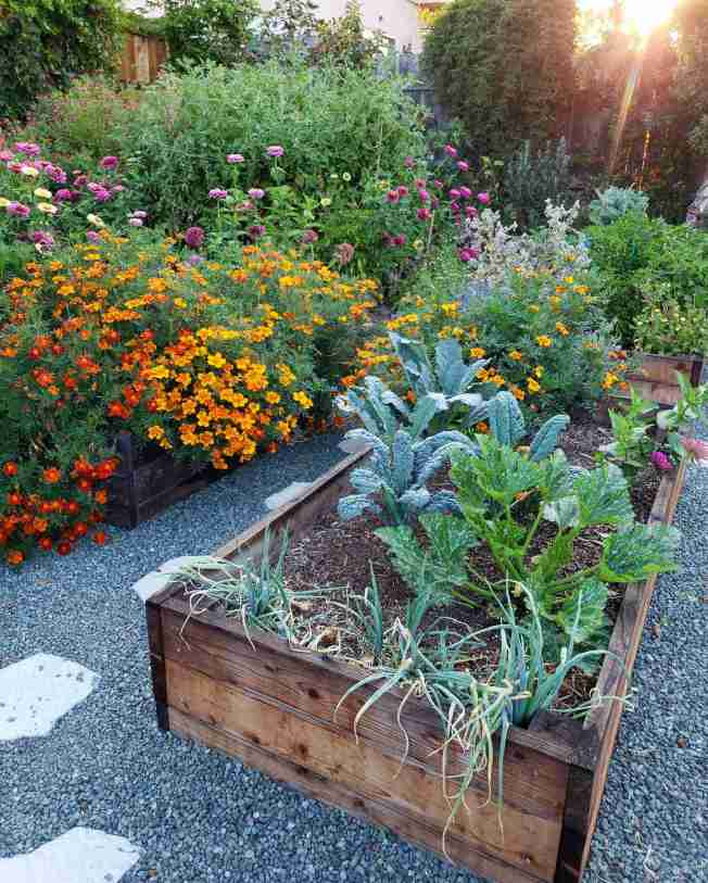 Raised garden beds are shown at the end of summer once everything was left to run wild. There are tomato plants, kale, and peppers. Though annual flowers are the plants that are taking over, marigolds, zinnia, and borage are all growing large with an immense amount of flowers taking over the image. The sun is shining in from the background, partially illuminating some of the image.