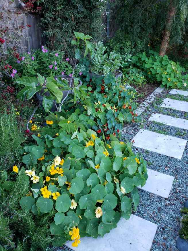 Nasturtium plants are shown growing along a gravel pathway, there roots are in the ground in the perimeter of the yard, yet they are a trellising or cascading nasturtium so they easily spread out. The flowers range in color from burgundy to yellow and gold.