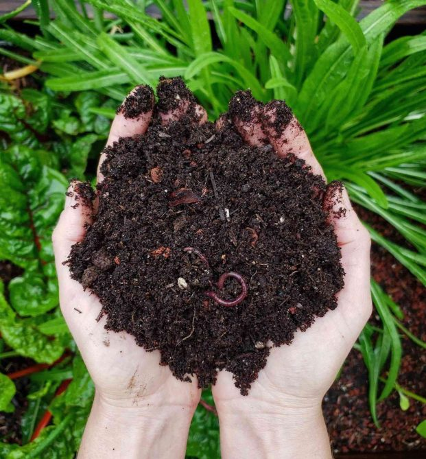 DeannaCat is holding two handfuls of soil, it is rich, dark and loamy in texture, there are some worms that are visible as well. Below the handful of soil lies a raised garden bed with swiss chard and dandelion greens growing in it.