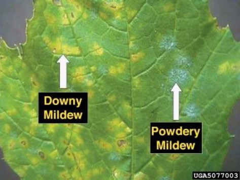 A diagram of a squash leaf split in two. On the left side shows what Downy mildew looks like on a leaf and the right contains a leaf with Powdery mildew. These are a few of the mildews that you may encounter when you grow zucchini.