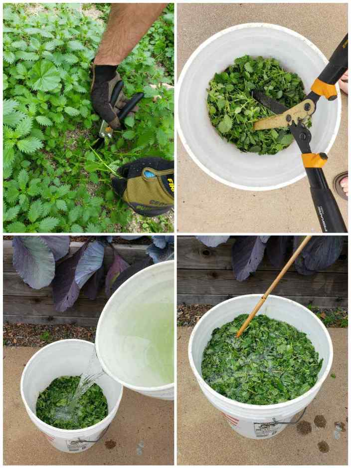 A four part image collage showing how to prepare stinging nettle when one is going to make stinging nettle fertilizer. The first image shows two gloved hands as they cut sections of growing stinging nettle out with hand trimmers. The second image shows the stinging nettle inside of a bucket and a hedger is chopping the nettle up into smaller pieces to increase its surface area. The third image shows a bucket of water being poured over the top of the bucket of harvested stinging nettle. The fourth image shows a bucket full of harvested stinging nettle and water with a stir stick being used to mix it around.