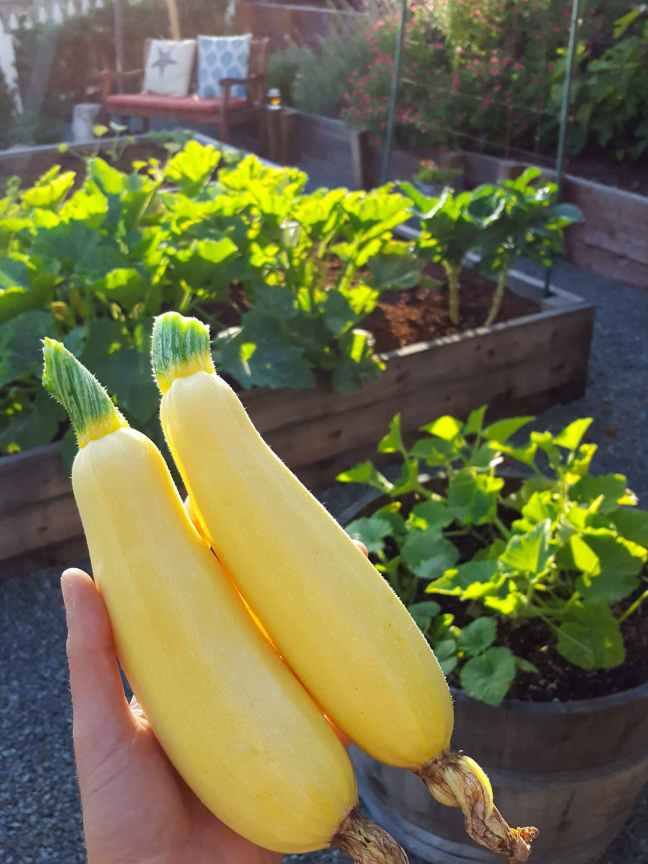"""A hand is holding two average sized """"butta"""" yellow squash in the sunlight. Beyond the fruit there are two garden beds and a half wine barrel, each growing space has at least one or two squash plants growing. Grow zucchini if you want to have squash to use fresh and to preserve as well."""