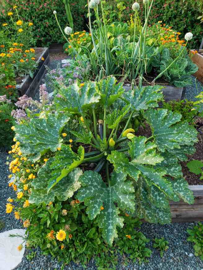 Three raised garden beds are shown overflowing with various vegetable plants and flowers. The main plant that is center stage is a zucchini variety squash plant, it is quite large and has white or gray molting on its leaves. Various squash fruit are growing, poking there flowered ends towards the sky. The other beds contain onions, basil, kale, and beans, along with marigolds, zinnia, calendula and borage.