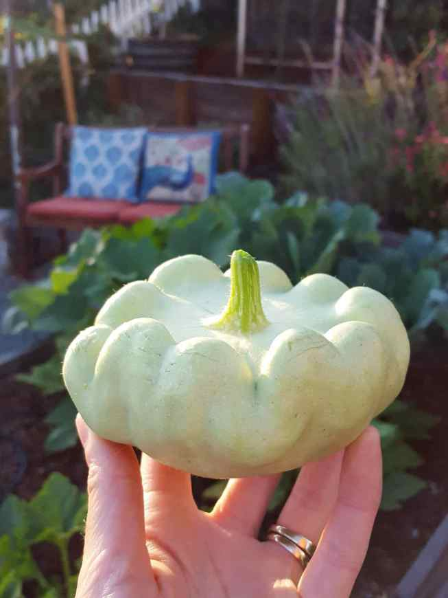 A hand is holding a larger patty pan variety of squash. It is whitish green in color and is ribbed along the top of the fruit with various tufts around the perimeter. There are various squash plants growing in garden beds in the background along with a wooden bench with cushions next to a Mexican sage and watermelon salvia plant.