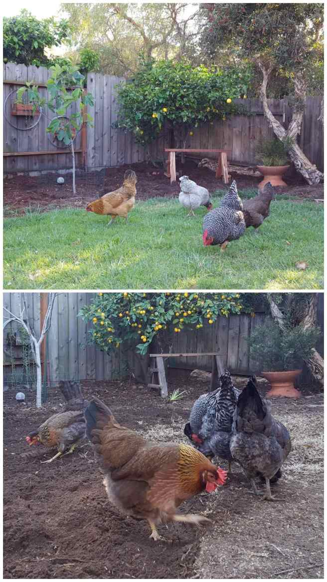 A two way image collage, the first image shows four chickens picking around in green grass. There is a lemon tree, fig tree, and ornamental tree in the background along the perimeter of the yard. The second image shows four chickens pecking and scratching away at the same lawn a number of years later. It has turned brown and there is far less lawn area as before due to the chickens pecking and scratching.