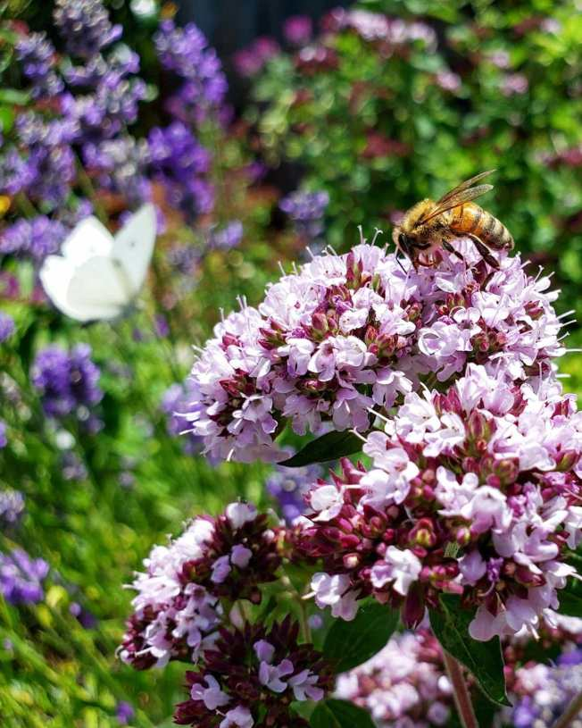 A close up image of blooming oregano flowers. They are purplish white and a bee is sitting atop the flower mound collecting pollen. In the background out of focus is a flowering perennial plant with purple flower spears with a cabbage white butterfly resting on it.