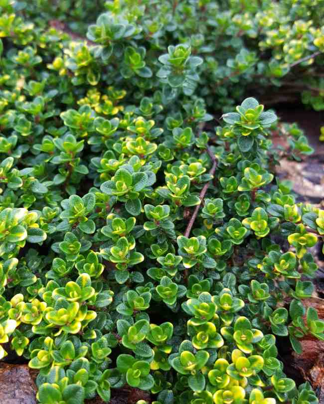 A close up image of a lemon thyme plant, it has spread as a ground cover would. The sun is shining in from the left, giving a contrast of bright and dark amongst the crevices of the plant.