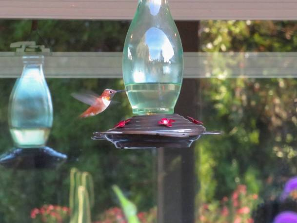 An image of a hanging hummingbird feeder with a Rufous hummingbird suspended in air next to it, its wings only a blur in the image. The bird is copper orange in color with a white breast.