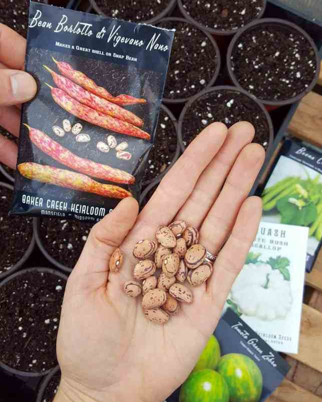 A hand is holding ten or so bean seeds as they are going to be sewn in four inch pots that are full of soil, in trays below. Another hand is holding the bean seed packet next to the beans, they are a variety call Borlotto di Vigevano Nano whose pods are pinkish red mixed with white.