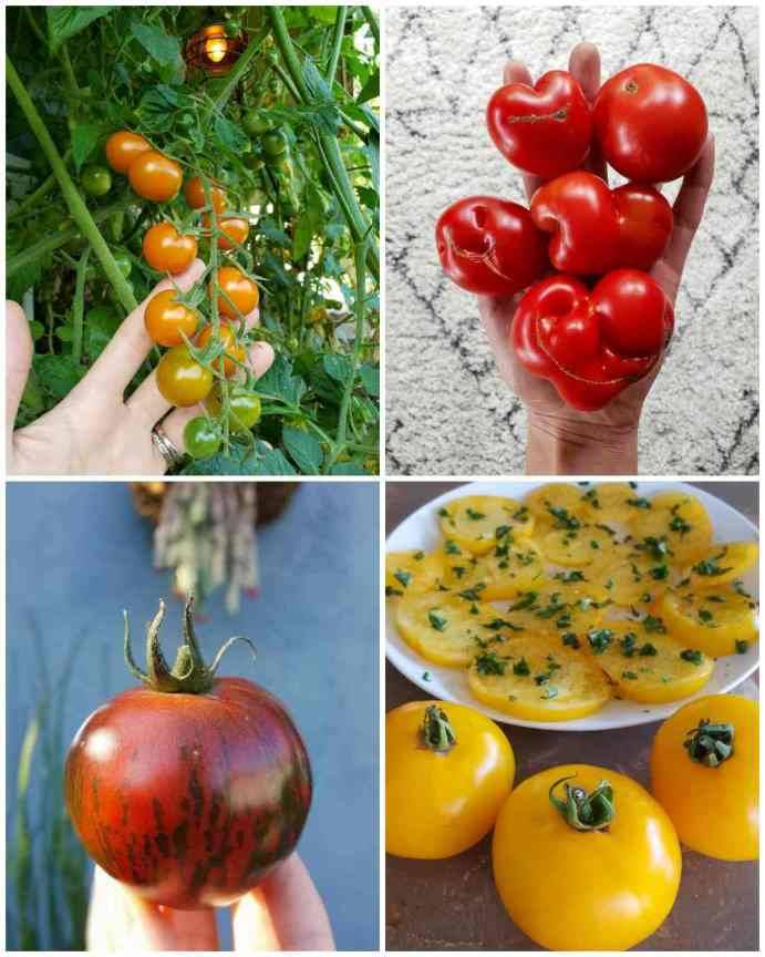 A four part image collage, the first image shows a hand touching a vining bunch of sungold cherry tomatoes, half of the tomatoes on the vine are some variation of orange while the bottom two fruits are still green. The second image shows a hand holding five blood red tomatoes of varying shape and size. They are the same variety of tomato yet there is a bit of differentiation in the fruit. The third image shows a hand holding one tomato that is dark blood red in color with dark green to brown striations. The sun is shining which illuminates the fruit even more. The fourth image shows a white ceramic plate full of slice yellow tomatoes, they are garnished with chopped basil. There are three whole yellow tomatoes sitting directly in front of the plate.