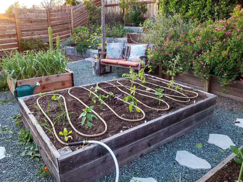 A raised garden bed is shown with newly transplanted seedlings. A soaker hose is wound in a snakelike S shape the length of the raised bed. It will soon be covered with mulch to protect it from the sun and harsh conditions. A raised bed beyond is full of garlic with its greens pointing upwards and flopping over slightly. The background is a terrace full of flowering perennials with yellow, pink, and purple flowers. Protect yourself from a garden heat wave by watering your plants thoroughly before the heat sets in.