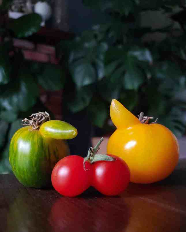 A closeup image of three different tomatoes with slight growth abnormalities. There is a greenish yellow tomato on the left that has a protrusion coming out of the top similar to a nose, the tomato in the middle is red and and looks like two small tomato siamese twins connected at the side but there is only one stem. The last tomato is yellow and has a protrusion coming out of the top as if it is a horn. When you grow tomatoes, they can come in all shapes and sizes.