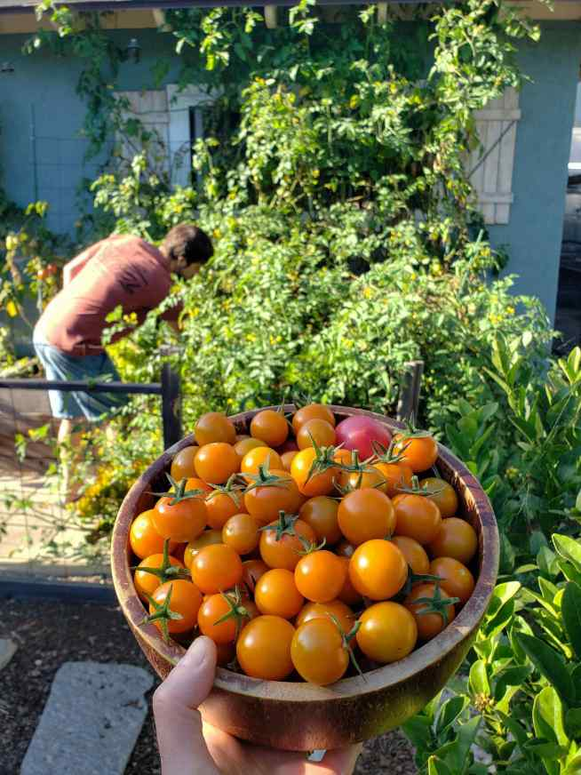 A hand is holding a wooden bowl of sungold cherry tomatoes that are bright orange in color. In the background, Aaron is shown inspecting the sungold tomato plant that bore the fruit that is featured. The plants is quite huge, looking like green blob of plant material. The plant is growing into the rafters of the house that it is growing next to.