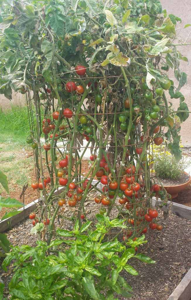 A tomato plant growing in a raised garden bed inside of a tomato cage is shown. The plant is heavily ladened with fruit as red and green tomatoes are visible from the bottom of the plant to the top. A bunch of basil plants are growing nearing the foreground.