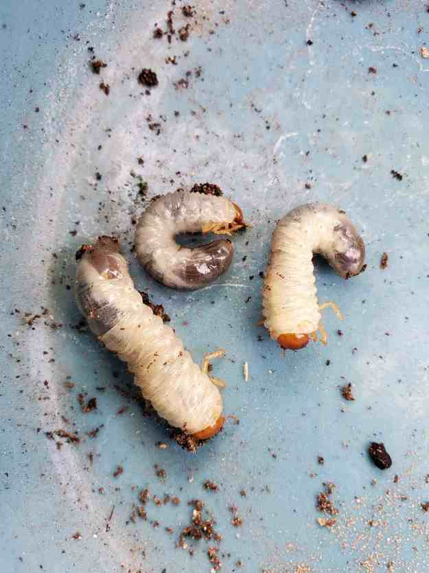 A close up image of three curl grubs is shown as they sit atop the hard light blue surface of a bowl.