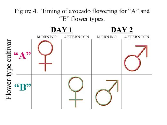 A chart showing a type A and type B cultivar on the left with with a Day 1 and Day two on the top of the chart, each day has a morning and afternoon section. There is a male and female symbol that is assigned to each part of the day. The type A and B avocados show that there male and female flowers are both open at the same time of day.