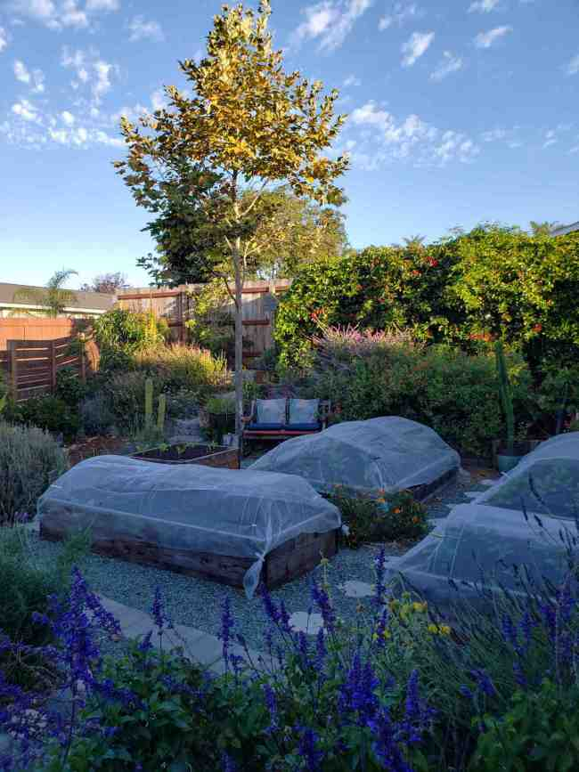 Four raised garden beds are in the foreground, each one has a row cover draped over the top of it. The cover is fine mesh white insect netting and it is supported with metal hoops that are inserted into the inside of each garden bed allowing room for the plants below. There are various flowering perennials around the beds, the flowers ranging from purple to pink to yellow and blue. There are cacti, vines, and various trees around the perimeter.
