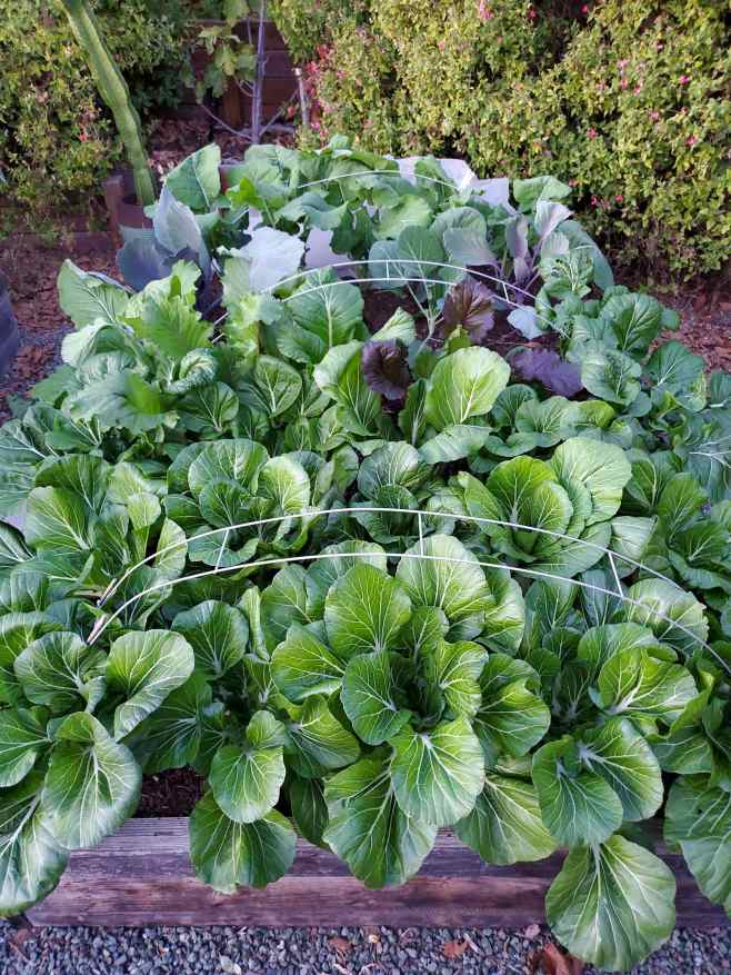 A raised garden bed full of bok choy, mustard greens, kale, and komatsuna growing upwards amongst metal hoops that are arched over the raised bed.