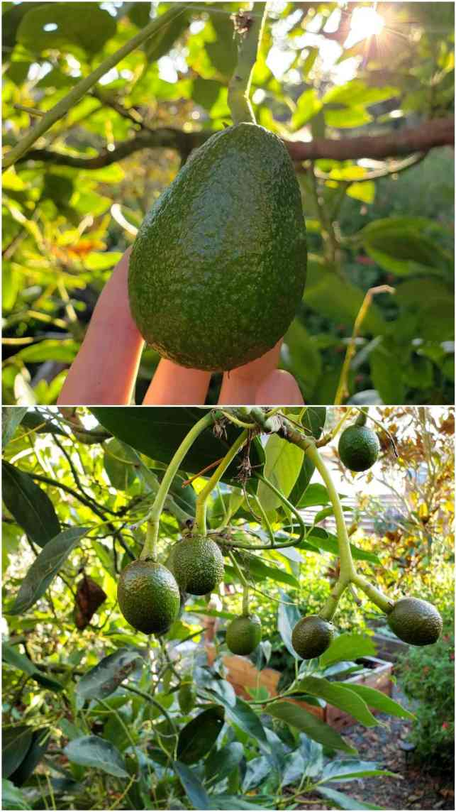 A two part image collage, the first image is a hand holding a smaller avocado hanging from a tree. The second image shows a number of smaller avocados growing amongst the understory of an avocado tree.